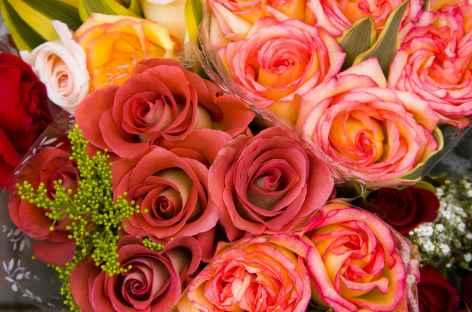 Roses - Equateur -
