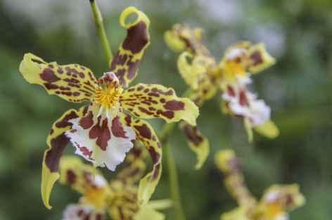 Une orchidée en Amazonie - Equateur -