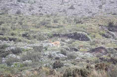 La sauvage vigogne - Equateur -