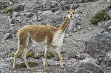 Une vigogne au pied du Chimborazo - Equateur -