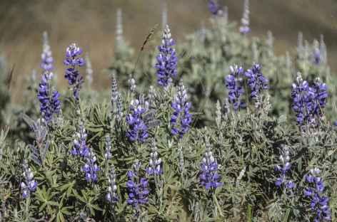 Lupin sauvage, fleur typique des Andes - Equateur -