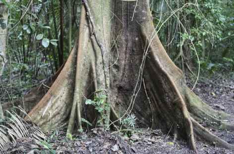 Le tronc d'un fromager dans la forêt tropicale - Guatemala -