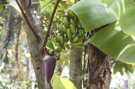 Balade dans les bananiers - Guatemala -