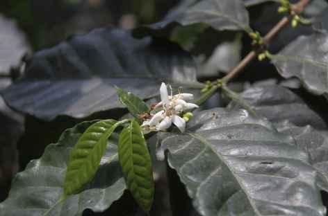 Balade dans la plantation de café - Guatemala -