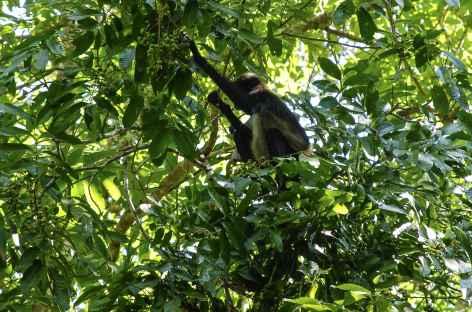 Un singe nous observe sur le site de Tikal ! - Guatemala -