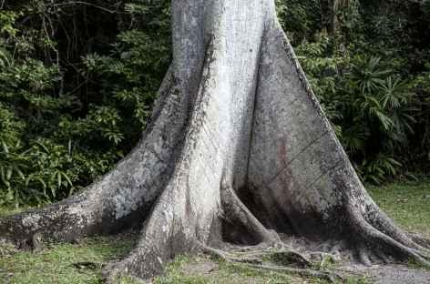 Les gigantesques fromagers de la forêt tropicale - Guatemala -
