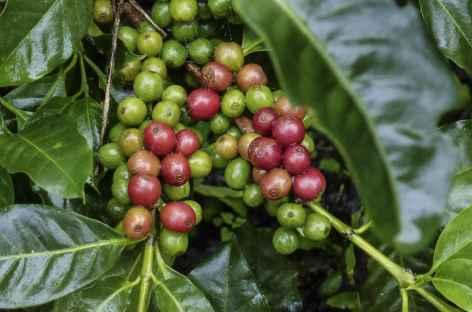 Balade dans une plantation de café - Nicaragua -