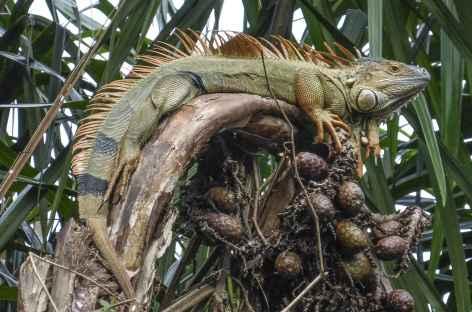 Un iguane terrestre - Nicaragua -