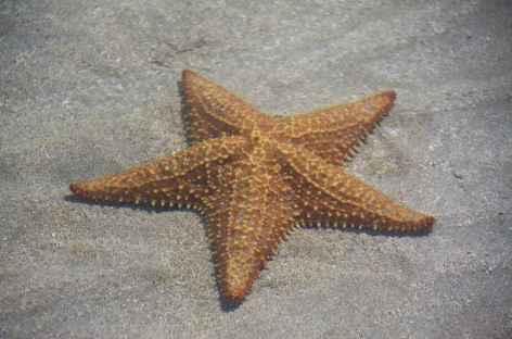 Archipel Bocas del Toro, étoile de mer sur l'île Colon - Panama -