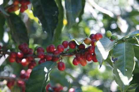 Dans une plantation de café - Panama -