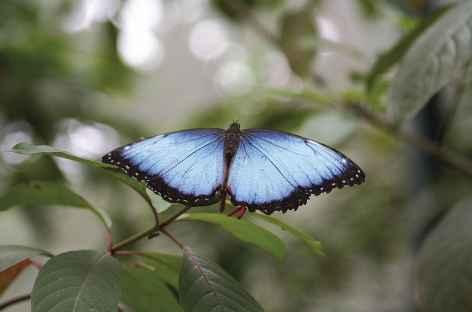 Un papillon morpho - Panama -