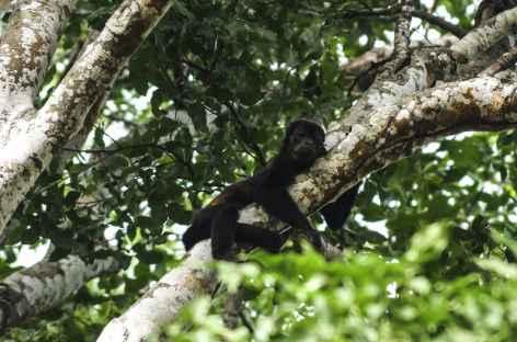 Singe hurleur - Costa Rica -