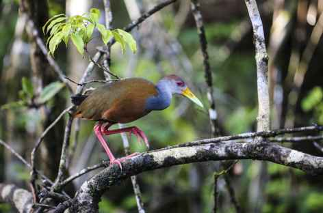 Purple Gallinule - Costa Rica -