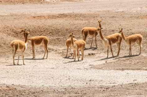 Rencontre avec des vigognes entre Arequipa et le canyon de Colca - Pérou -