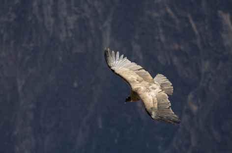Le vol majestueux du condor - Pérou -