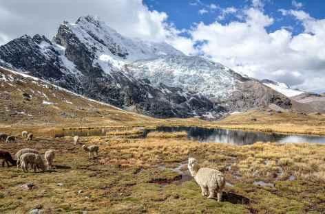 Alpagas au pied de la face Ouest de l'Ausangate - Pérou -