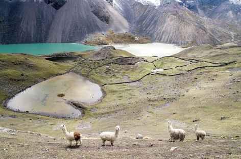 Cordillère Vilcanota, alpagas et lagunes multicolores - Pérou -