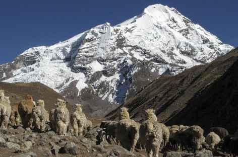 Troupeau d'alpagas près d'Huchuy Phinaya - Pérou -