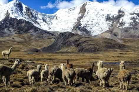 Alpagas et montagnes face à la laguna Ccascana - Pérou -