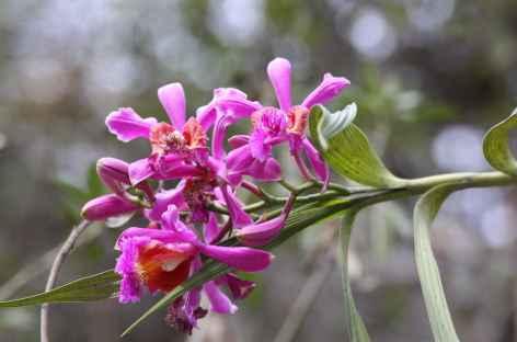 Orchidée au bord du chemin - Pérou -