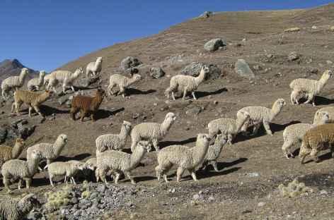 Troupeau d'alpagas - Pérou -