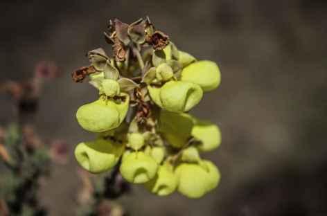 Fleur des Andes - Pérou -