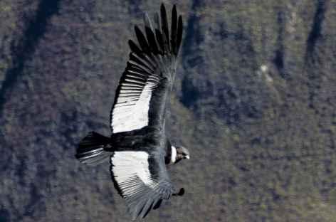 Majestueux vol du condor dans le canyon de Colca - Pérou -