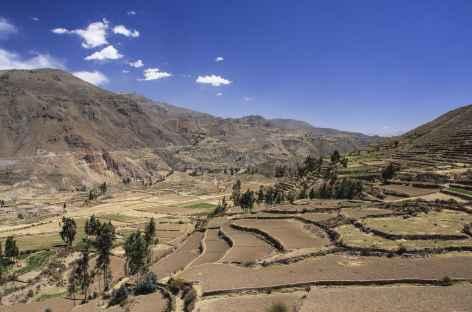 Terrasses cultivées dans le canyon de Colca - Pérou -