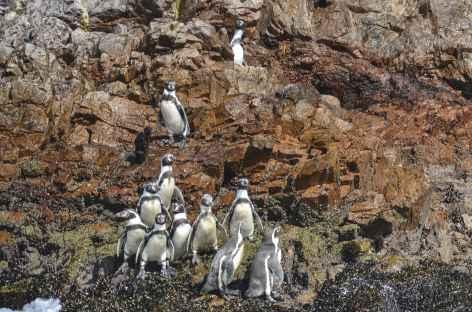 Observation de pingouins sur les îles Ballestas - Pérou -
