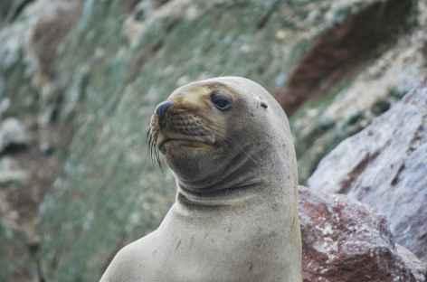 Un phoque fait le beau sur les îles Ballestas - Pérou -