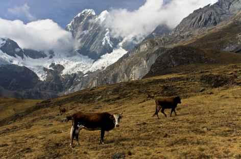 Des vaches au pied du Jirishanca (6126 m) près de la lagune Mitucocha ! - Pérou -