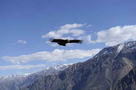 Le vol des condors dans le canyon de Colca - Pérou -