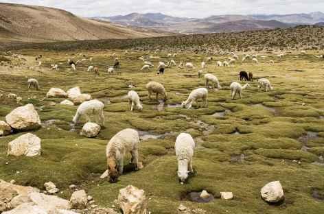Troupeau d'alpagas entre Chivay et Puno - Pérou -