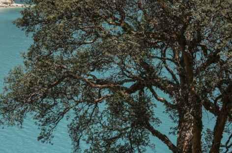 Quenual, l'arbre endémoique des Andes -