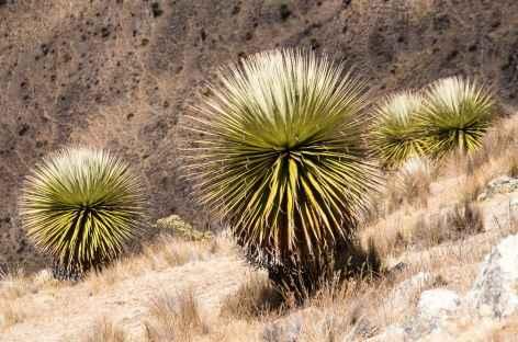 Puyas Ramondi dans la Cordillère Noire - Pérou -