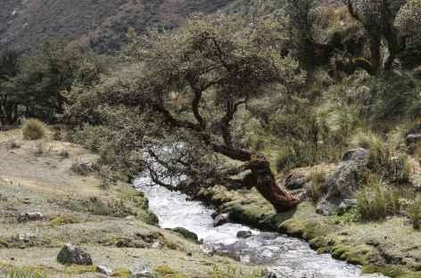Un quenual dans la quebrada Cayesh - Pérou -