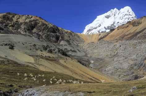 Troupeau d'alpagas en chemin vers la vallée Quillhuahuayjo - Pérou -