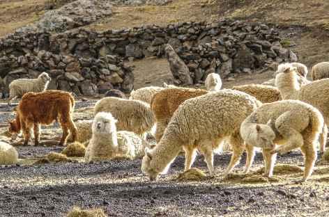 Un troupeau d'alpagas - Pérou -