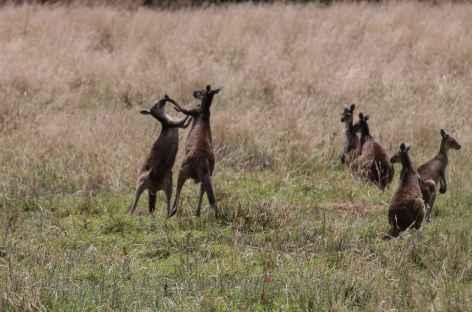 bataille de Kangourous - Australie -