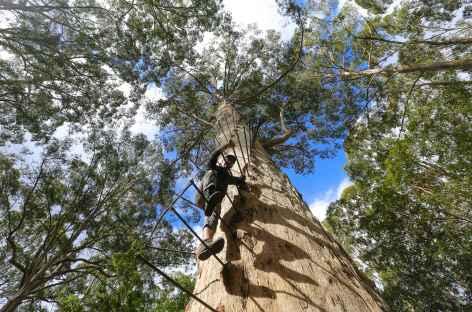 forêts de karris  - Pemberton - Australie -