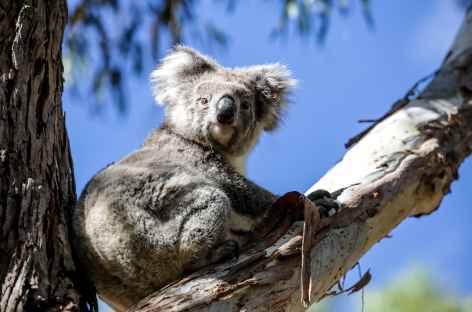 koalas -