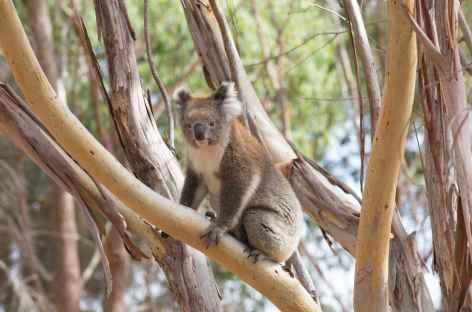 Koala -