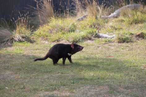 Diable de Tasmanie -
