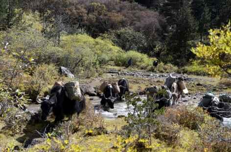 Yaks près de Sakteng - Bhoutan -