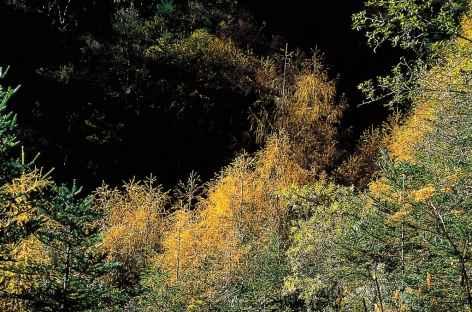Forêt de mélèzes et de pins sous le col du Nyakchungla - Bhoutan -
