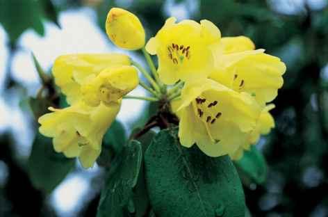 Rhododendrons jaunes - Bhoutan -