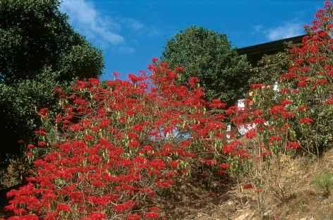 Les Rhododendrons au printemps - Bhoutan -