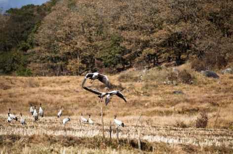 Grues à Phobjika, en Hiver - Bhoutan  -