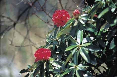 Rhododhendrons en avril - Bhoutan -