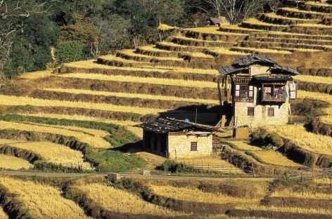 Début des moissons à Punakha - Bhoutan -